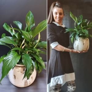 Peace Lily (Spathipyllum) ​in Earth Pot