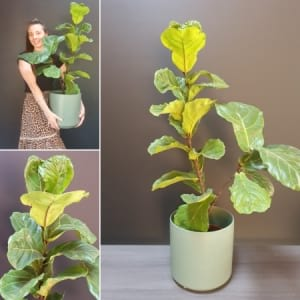 Potted Fiddle Fig Plant