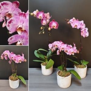 Potted ​Phalenopsis Orchids