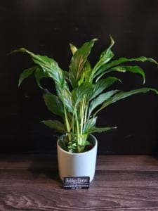 Small Peace Lily (Spathipyllum) ​in Ceramic Pot