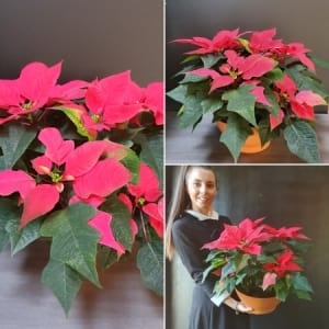 Poinsettia Potted Large