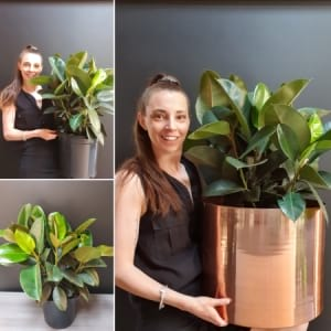Rubber Plant Large