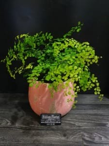 Maidenhair Fern in Pink Earth Ceramic Pot